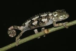 Spiny-flanked Chameleon_Trioceros laterispinis