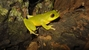 Confusing Green Bushfrog_Raorchestes chromasynchysi