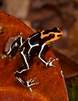 Fantastic Poison Frog_Ranitomeya fantastica