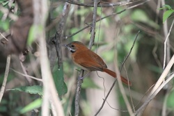 Hoary throated Spinetail_Synallaxis kollari