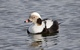 Long-tailed Duck_Clangula hyemalis