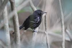 Rio Branco Antbird_Cercomacra carbonaria
