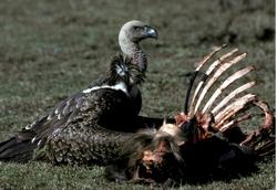 Rueppells Vulture_Gyps rueppellii