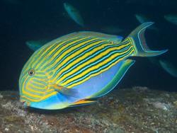 Lined Surgeonfish_Acanthurus lineatus