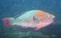 Rainbow Parrotfish_Scarus guacamaia