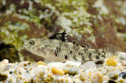 Speckled Goby_Redigobius bikolanus