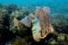 Giant Australian Cuttlefish_Sepia apama