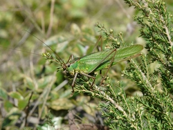 Gomera Green Bush-cricket_Calliphona alluaudi