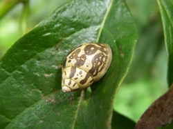Moorean Viviparous Tree Snail_Samoana diaphana