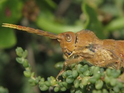 Purpurarian Stick Grasshopper_Purpuraria erna