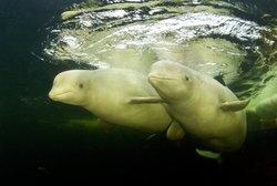 Beluga_Delphinapterus leucas