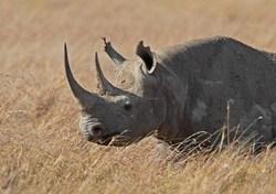 Black Rhinoceros_Diceros bicornis
