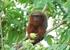 Caqueta Titi Monkey_Callicebus caquetensis