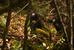 Myanmar Snub-nosed Monkey_Rhinopithecus strykeri