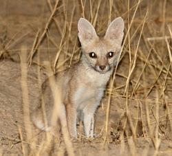 Pale fox_Vulpes pallida