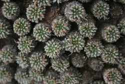 Moores Plantain_Plantago moorei