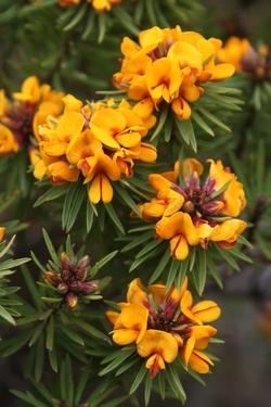 Mount Barney Bush Pea_Pultenaea whiteana