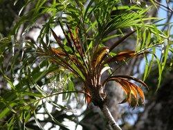 Ravenea delicatula