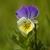 Wild Pansy_Viola tricolor