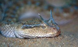 Arabian Horned Viper_Cerastes gasperetti