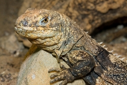 Black-chested Spiny-tailed Iguana_Ctenosaura melanosterna