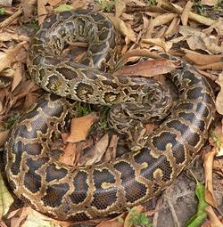 Burmese Python_Python bivittatus
