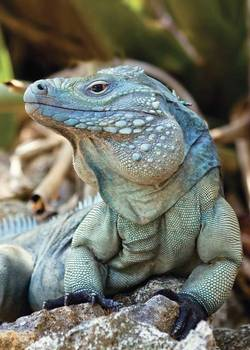 Grand Cayman Blue Iguana_Cyclura lewisi