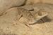 Hemidactylus lemurinus