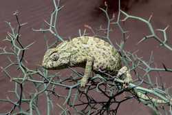 Mediterranean Chameleon_Chamaeleo chamaeleon