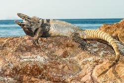 Nolasco Spiny-tailed Iguana_Ctenosaura nolascensis