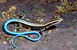 Pacific Bluetail Skink_Emoia caeruleocauda