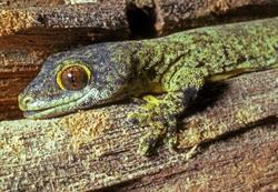 Rotuma Forest Gecko_Lepidodactylus gardineri