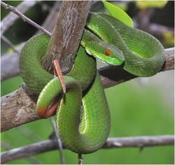 Ruby-eyed Green Pit Viper_Cryptelytrops rubeus