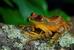 Parker's Forest Tree Frog_Leptopelis parkeri