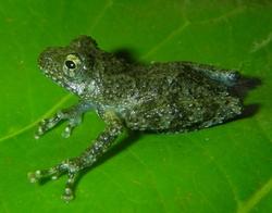 Quyet's Treefrog_Gracixalus quyeti