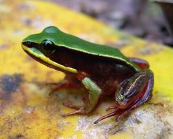 Rancho Redondo Frog_Lithobates vibicarius