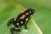 Rio Santiago Poison Frog_Excidobates captivus
