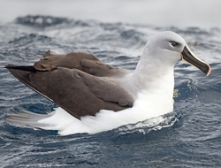 Grey-headed Albatross_Thalassarche chrysostoma