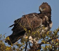 Martial Eagle_Polemaetus bellicosus