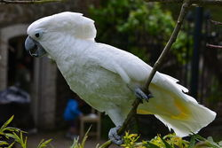 White Cockatoo_Cacatua alba