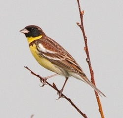 Yellow-breasted Bunting_Emberiza aureola