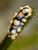 Blackspotted Sea Cucumber_Pearsonothuria graeffei