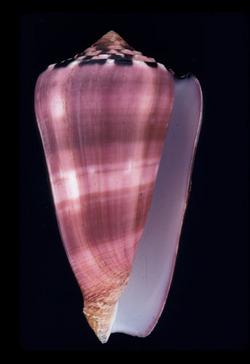 Conus gauguini