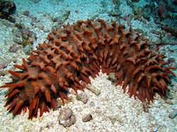 Prickly Redfish_Thelenota ananas