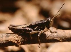 Usambara Dusky Grasshopper_Aresceutica subnuda