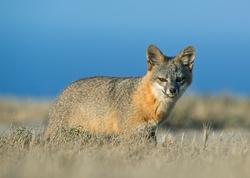 Island Fox_Urocyon littoralis
