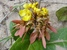 Acridocarpus alopecurus