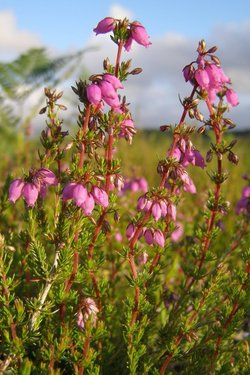 Bell Heather_Erica cinerea