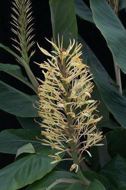 Hedychium glabrum