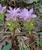 Hill Turmeric_Curcuma pseudomontana